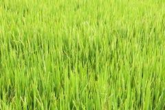 粮食作物黄色背景  免版税库存照片