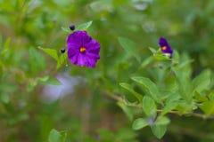 精制的紫色花和绽放有软的绿色背景 免版税库存图片