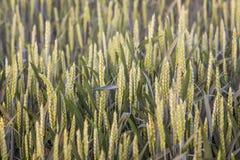 精华麦子绿色钉  绿色耳朵的样式design_的 库存图片
