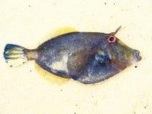 精妙的五颜六色的热带鱼有海滩沙子背景 库存照片