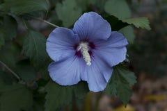 精妙的木槿或沙仑的玫瑰花,与红色的眼睛的蓝色缎 库存照片
