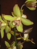 精妙的绿色兰花 库存图片