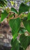 精密绿色树叶子 免版税库存照片