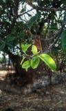 精密绿色树叶子 免版税库存图片