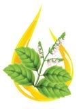 精油绿叶刺蕊草 免版税库存图片