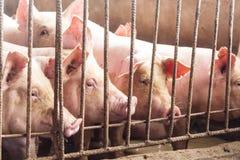 精瘦的肉猪在农场,特写镜头 图库摄影