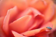 精美与甲虫的桔子玫瑰花卉背景 免版税库存图片