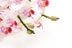 精美兰花变粉红色白色 库存图片