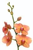 精美兰花粉红色黄色 免版税库存图片