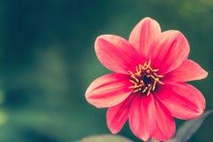 精美大丽花在迷离自然绿色背景开花 Beautif 库存图片