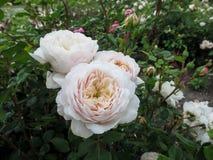 精美奶油群在庭院里托起了` Artemis在灌木的`培育品种玫瑰绽放  免版税库存照片