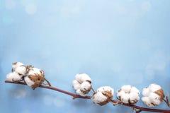精美干白色棉花在蓝色背景开花 复制温泉 库存图片