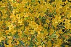 精美明亮的黄色火焰状浅田花是花背景 库存照片