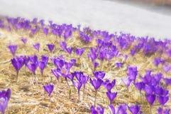 精美春天会开蓝色钟形花的草 库存照片