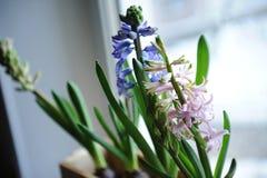 精美春天风信花在窗口基石的一个木箱开花 桃红色,蓝色颜色 库存图片
