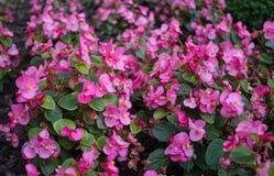 精美桃红色喇叭花在早晨秋天停放 库存照片