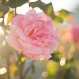 精美桃红色庭院在与聚焦和bokeh的模糊的背景上升了紧密  库存图片