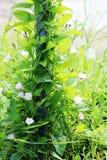 精美桃红色开花野生植物在的旋花植物arvensis篱芭的鲜绿色的标尺 免版税图库摄影