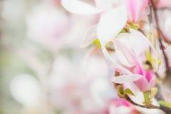 精美桃红色木兰开花在木兰树,春天自然概念被弄脏的开花  免版税库存图片