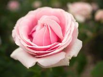 精美浅粉红色在绽放上升了 库存图片