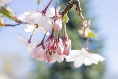 精美浅粉红色开花发芽垂悬从与如此的树枝 免版税库存照片