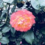 精美玫瑰色花,鞠躬和微笑 免版税图库摄影