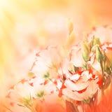 精美玫瑰花束 库存图片