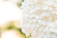 精美白色八仙花属在迷离自然绿色背景开花 关闭射击 免版税库存照片