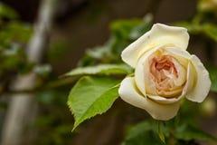 精美白色和黄色玫瑰 免版税库存图片