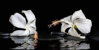 精美白色木槿,禅宗石头美丽的温泉静物画  免版税图库摄影