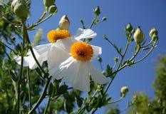 精美白色装饰花, argemone albiflora 免版税库存图片