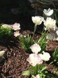精美白色野花在花床上 免版税图库摄影