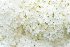 精美白色雪球八仙花属开花特写镜头  库存图片