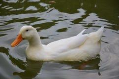 精美白色鸭子 库存图片