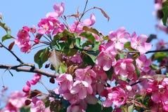 精美的秀丽 开花的樱桃树 库存图片