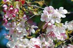 精美的秀丽 开花的樱桃树 库存照片