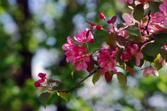 精美的秀丽 开花的樱桃树 免版税库存图片