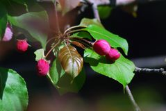 精美的秀丽 开花的樱桃树 图库摄影