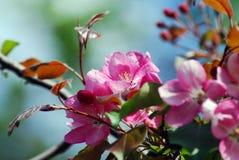 精美的秀丽 开花的樱桃树 免版税图库摄影