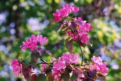 精美秀丽-一棵开花的树的瓣 采取在莫斯科 库存图片