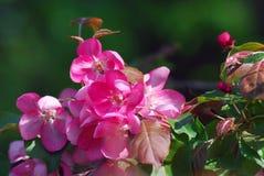 精美秀丽-一棵开花的树的瓣 采取在莫斯科 免版税库存图片