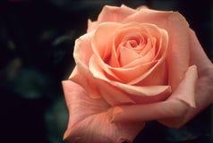 精美粉红色上升了 库存照片