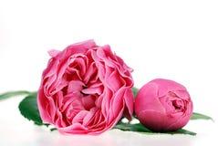 精美粉红色上升了 免版税库存图片