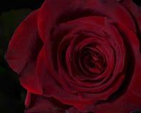 精美红色上升了 免版税图库摄影