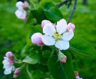 精美美丽的白色桃红色苹果在绿色背景,宏指令开花 苹果树关闭的花 免版税库存照片