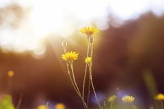 精美花染黄生长在s的阳光下的蒲公英 库存照片