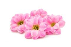 精美花粉红色 免版税库存图片