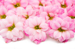 精美花粉红色 免版税库存照片