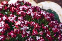 精美被雪包围住花红色的菊花 免版税图库摄影