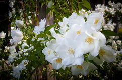 精美,白色,在盛开的击倒玫瑰 图库摄影